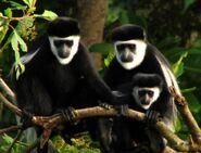 3867165-Angola-colobus-monkey-family-0