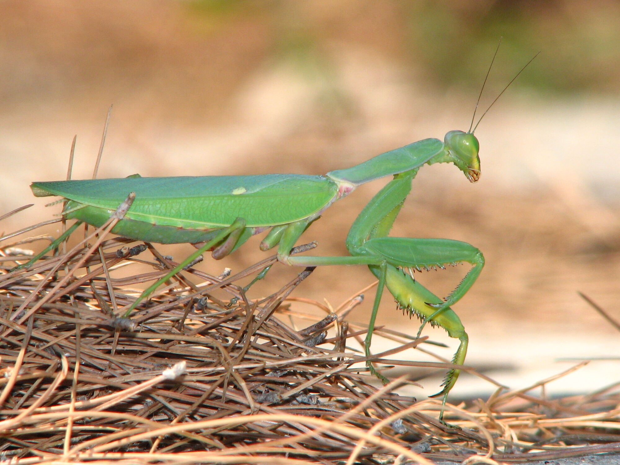 Praying Mantis | Creatures of the World Wikia | FANDOM powered by Wikia