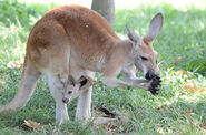 Red-kangaroo2 Robin-Winkelman-Saint-Louis-Zoo web