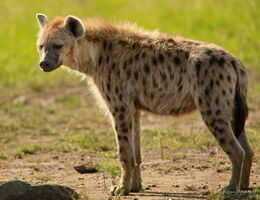 Spotted-hyena-standing214