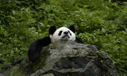 Giant-panda-what-wwf-is-doingHI 113976