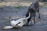 H orig grey wolf play3 gal
