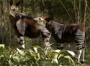 IMG 6369-Okapi-and-calf-CB