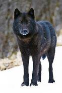 La-sci-sn-alaska-wolf-protection-20140328-001