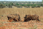Warthogs (Phacochoerus africanus) young males fighting