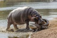 Hippo-attacks-crocodile