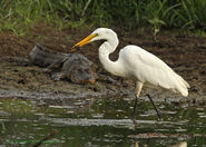 Great Egret crawfish alligator CCunningham