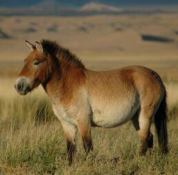 Przewalskis horse 02