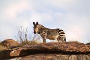 Cape-mountain-zebra-3