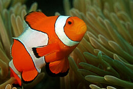 Clown fish in the Andaman Coral Reef