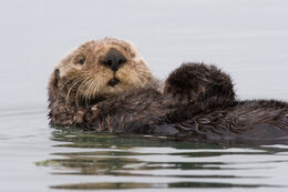Sea-otter-morro-bay 13