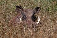 Eritrean warthog (Phacochoerus africanus aeliani)