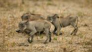 Warthog-babies-group.ngsversion.1396530730563