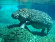 Hippopotamus in San Diego Zoo