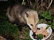 Opossum-eating