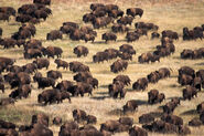 South-dakota-bison-herd