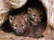 Gray-wolf-pups-animal-babies-wallpaper.jpeg?w=700