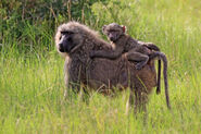 Olive baboon (Papio anubis) with juvenile