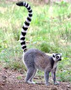 Ringtailed-lemur 100814-15