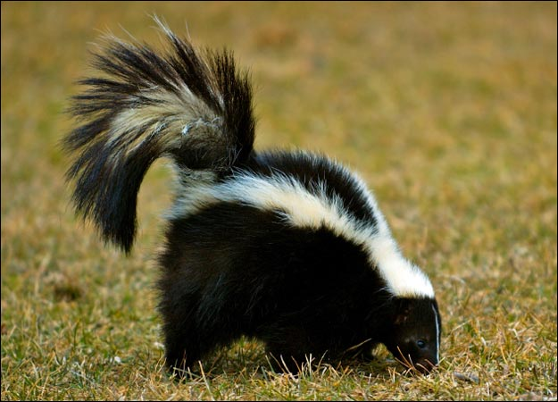 Striped Skunk Creatures Of The World Wikia Fandom Powered By Wikia