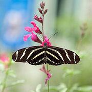 Zebra Buttlerfly