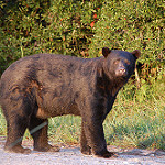 Wildlife image-black bear tracey rock