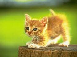 Kitten Mitten