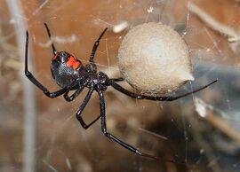 800px-Black Widow Spider 07-04-20