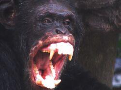 Angry chimpanzee