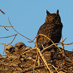 Wildlife image-great horned owl ray fetherman