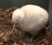 Kiwi-blanc