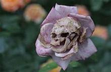 Weird wilted flower by clandestinebatheart1-d469nh2