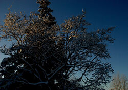 Winter trees, Romick Hill, in a clear blue sky, Christmas, Anchorage, Alaska, USA