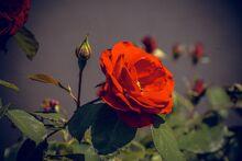 Rose-2557228 1920