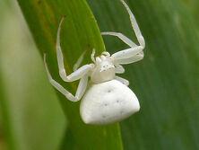 White-spider