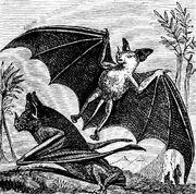 PSM V07 D665 Vampire bat of south america