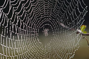 Spider web with dew drops04