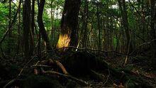 160112231128 japan aokigahara forest 624x351 juliancolton nocredit
