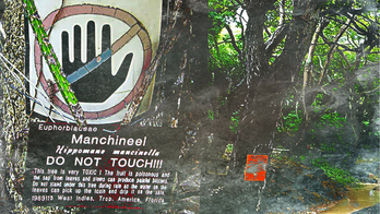 Manchineel