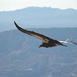 Wildlife image-condor