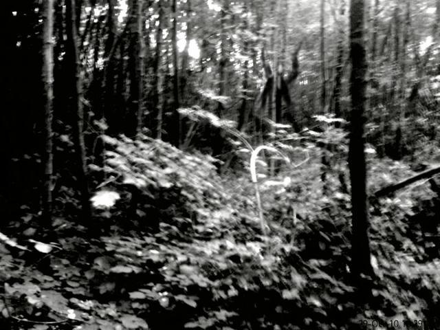 File:Slender forest 3.jpg