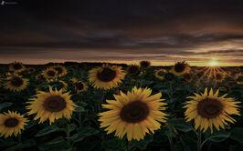 Campo-di-girasole,-tramonto-sul-campo-172073