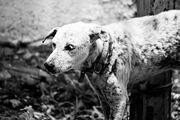 Sad-dog-bw