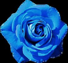 Sky blue rose by jeanicebartzen27-d8lx2hf