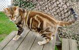 Orange-American-Shorthair-Cat-Standing-On-Table-In-Garden