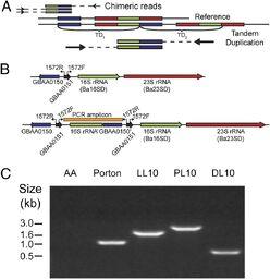 Anthrax genome