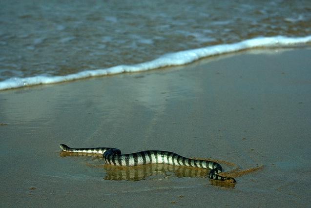 какие змеи обитают на мальдивах фото таких