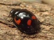 Pine ladybird cropped