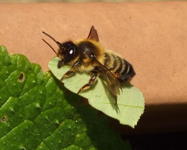 File:Bee and leaf.jpg