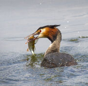 Great-crested Grebe with perch 37 SMALL